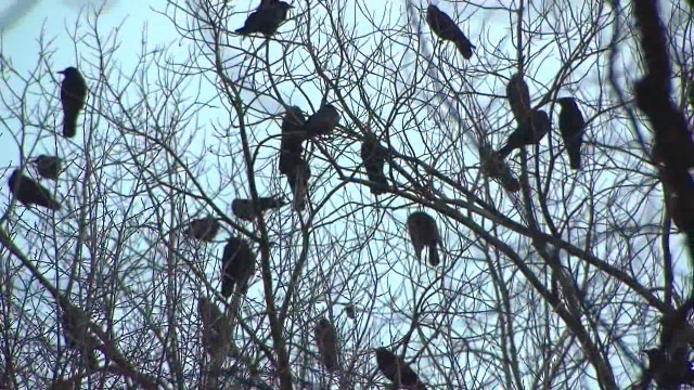 Officials confirm Portland crows were poisoned