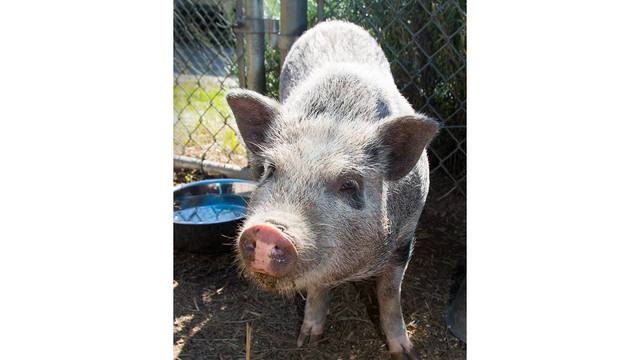 Did you lose your Vietnamese potbelly pig?