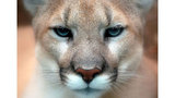 Multiple cougar sightings reported in Cascade Locks